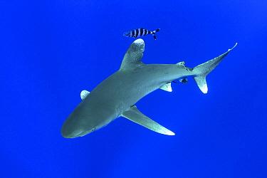 Oceanic White-tip Shark (Carcharhinus longimanus) with Pilot Fish (Naucrates ductor), Bahamas, Caribbean  -  Norbert Wu