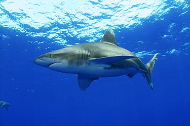 Oceanic White-tip Shark (Carcharhinus longimanus), Bahamas, Caribbean  -  Norbert Wu