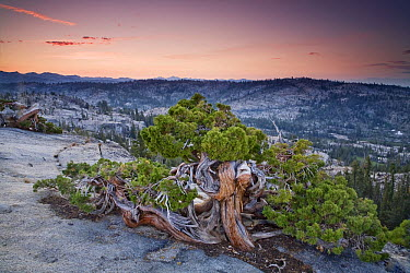 Western Juniper (Juniperus occidentalis) on granite summit stunted by strong winds, Emigrant Wilderness, Stanislaus National Forest, Sierra Nevada, California  -  Sebastian Kennerknecht