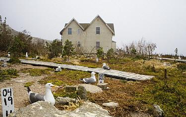 Western Gull (Larus occidentalis) nesting colony near research station, South Farallon Islands, Farallon Islands, Farallon National Wildlife Refuge, California  -  Sebastian Kennerknecht