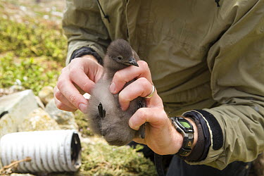 Cassin's Auklet (Ptychoramphus aleuticus) researcher, Russell Bradley, holding chick near artifical nesting burrow, South Farallon Islands, Farallon Islands, Farallon National Wildlife Refuge, Califor...  -  Sebastian Kennerknecht