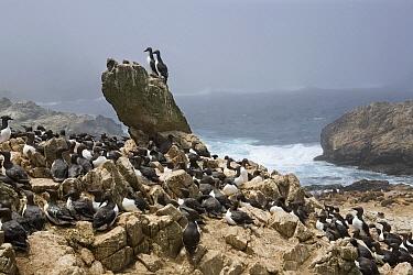 Common Murre (Uria aalge) breeding colony along coast, South Farallon Islands, Farallon Islands, Farallon National Wildlife Refuge, California  -  Sebastian Kennerknecht