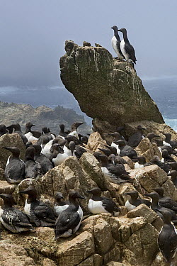 Common Murre (Uria aalge) breeding colony along coast, South Farallon Islands, Farallon Islands, Farallon National Wildlife Refuge, California  -  Sebastian Kennerknecht
