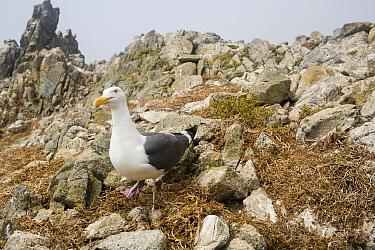 Western Gull (Larus occidentalis) on nest with eggs, South Farallon Islands, Farallon Islands, Farallon National Wildlife Refuge, California  -  Sebastian Kennerknecht