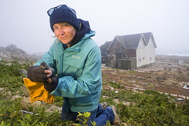 Cassin's Auklet (Ptychoramphus aleuticus) researcher, Ilana Nimz, weighing chick taken from artifical nesting burrow near research station, South Farallon Islands, Farallon Islands, Farallon National...  -  Sebastian Kennerknecht