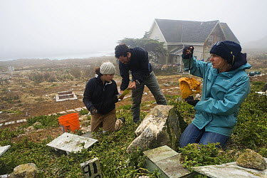 Cassin's Auklet (Ptychoramphus aleuticus) researchers, Jennifer Aragon, Michael Johns, and Ilana Nimz, weighing chicks taken from artifical nesting burrows near research station, South Farallon Island...  -  Sebastian Kennerknecht