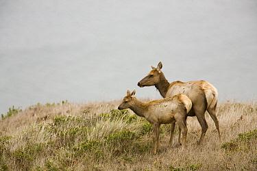 Tule Elk (Cervus elaphus nannodes) mother and calf, Point Reyes National Seashore, California  -  Sebastian Kennerknecht