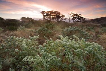 Yellow Bush Lupine (Lupinus arboreus) and Monterey Cypress (Cupressus macrocarpa) trees in northern coastal scrubland, Point Reyes National Seashore, California  -  Sebastian Kennerknecht