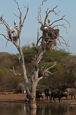 Cape Buffalo (Syncerus caffer) group under tree with Yellow-billed Storks (Mycteria ibis) and nesting Marabou Storks (Leptoptilos crumeniferus), Kruger National Park, South Africa  -  Murray Cooper