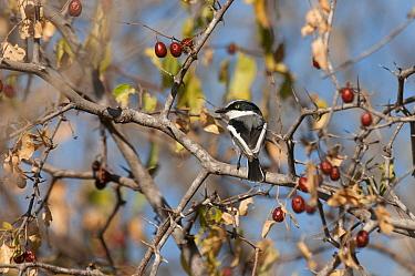 Chinspot Batis (Batis molitor), Kruger National Park, South Africa  -  Murray Cooper