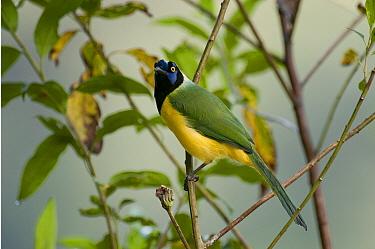 Green Jay (Cyanocorax yncas), Andes, Ecuador  -  Murray Cooper