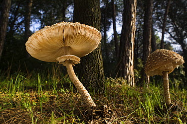 Parasol Mushroom (Macrolepiota procera) pair in forest, El Montseny Natural Park, Spain  -  Albert Lleal