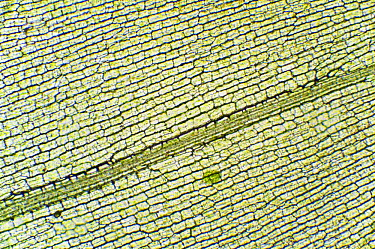 Brazilian Waterweed (Egeria densa) leaf showing chloroplasts and cell walls  -  Albert Lleal