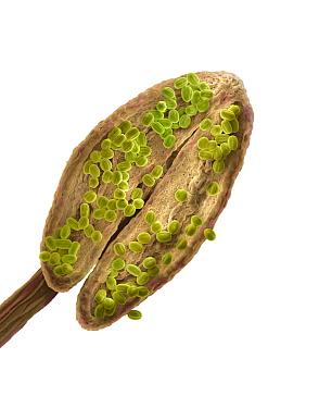 Pennyroyal (Mentha pulegium) anther  -  Albert Lleal
