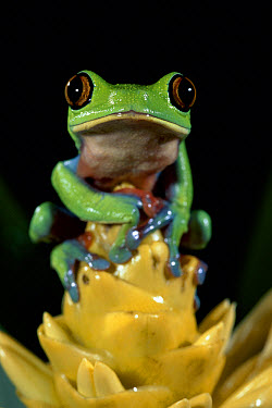 Blue-sided Leaf Frog (Agalychnis annae) perched on bromeliad, cloud forest, Costa Rica  -  Michael & Patricia Fogden