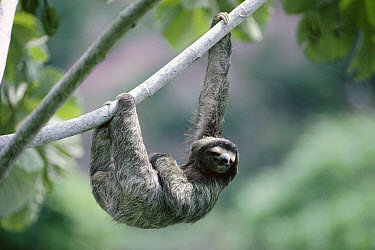 Brown-throated Three-toed Sloth (Bradypus variegatus) male sunbathing, rainforest, Panama  -  Michael & Patricia Fogden