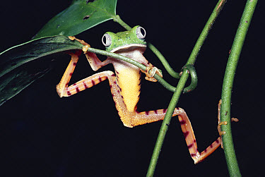 Tiger-striped Leaf Frog (Phyllomedusa tomopterna) on Heliconia (Heliconia stricta), Amazon rainforest, Peru  -  Michael & Patricia Fogden