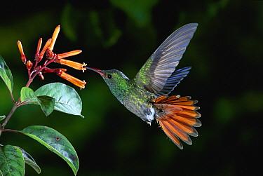 Rufous-tailed Hummingbird (Amazilia tzacatl) feeding on Hamelia flowers, Costa Rica  -  Michael & Patricia Fogden