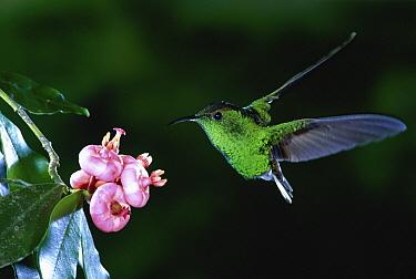 Coppery-headed Emerald (Elvira cupreiceps) hummingbird, endemic male, feeding on St. John's-wort (Clusiaceae) flower, Costa Rica  -  Michael & Patricia Fogden