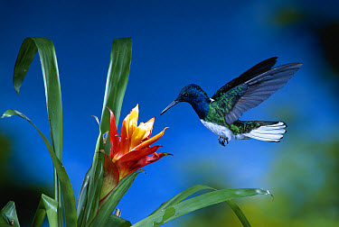 White-necked Jacobin (Florisuga mellivora) hummingbird male feeding on nectar from a Bromeliad flower, La Selva Biological Research Station, Rainforest, Costa Rica  -  Michael & Patricia Fogden