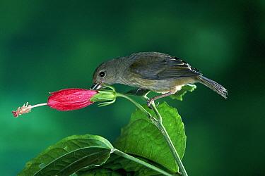 Slaty Flower-piercer (Diglossa plumbea) hummingbird, piercing Sleepy Hibiscus (Malvaviscus palmanus) flower, for nectar, cloud forest, Costa Rica  -  Michael & Patricia Fogden