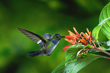 Blue-chested Hummingbird (Amazilia amabilis) feeding on nectar from flowers (Hamelia sp) rainforests of Costa Rica  -  Michael & Patricia Fogden