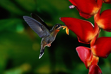Band-tailed Barbthroat (Threnetes ruckeri) hummingbird male feeding and pollinating Heliconia (Heliconia pogonantha) flowers, rainforests, Costa Rica  -  Michael & Patricia Fogden