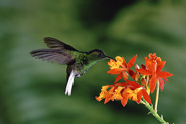 Coppery-headed Emerald (Elvira cupreiceps) hummingbird visiting terrestrial orchid (Epidendrum radicans) in the cloud forest, Costa Rica  -  Michael & Patricia Fogden