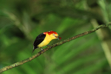 Wire-tailed Manakin (Pipra filicauda) regurgitating seeds, Amazon rainforest, Peru  -  Michael & Patricia Fogden