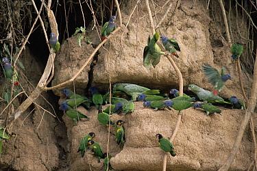 Blue-headed Parrot (Pionus menstruus) and Orange-cheeked Parrot (Pionopsitta barrabandi) eating clay lick minerals, Manu National Park, Peru  -  Michael & Patricia Fogden