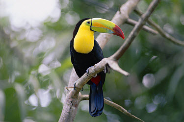 Keel-billed Toucan (Ramphastos sulfuratus) perched in tree, Costa Rican rainforest  -  Michael & Patricia Fogden