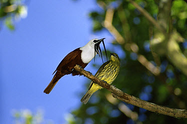 Three-wattled Bellbird (Procnias tricarunculata) male challenges female by displaying, cloud forest, Costa Rica  -  Michael & Patricia Fogden