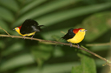 Wire-tailed Manikin (Pipra filicauda) males in display perch, Amazon rainforest, Peru  -  Michael & Patricia Fogden