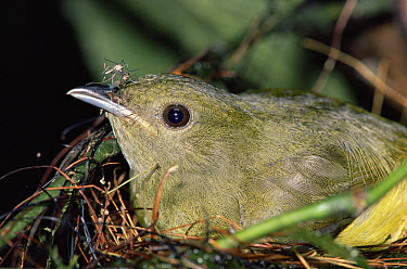 White-collared Manakin (Manacus candei) female feeding on mosquitoes while in nest, Costa Rica  -  Michael & Patricia Fogden