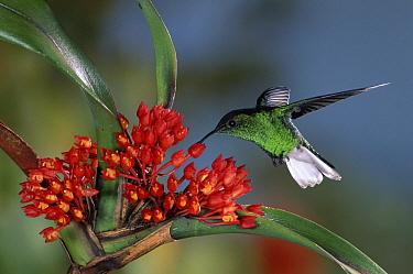 Coppery-headed Emerald (Elvira cupreiceps) hummingbird male feeding on and pollinating Shiney Maxillaria (Maxillaria fulgens) in cloud forest, Costa Rica  -  Michael & Patricia Fogden
