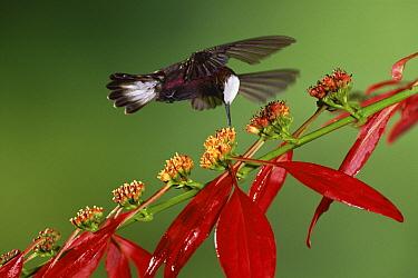 Snowcap (Microchera albocoronata) hummingbird feeding on Madder (Warszewiczia sp) flowers in rainforest, Costa Rica  -  Michael & Patricia Fogden