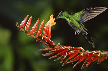 Green-crowned Brilliant (Heliodoxa jacula) hummingbird male feeding on and pollinating epiphytic Bromeliad (Pitcairnia brittoniana) cloud forest, Costa Rica  -  Michael & Patricia Fogden