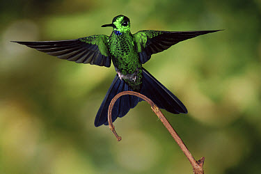 Green-crowned Brilliant (Heliodoxa jacula) hummingbird male, cloud forest, Costa Rica  -  Michael & Patricia Fogden