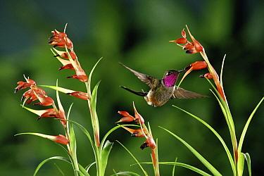 Magenta-throated Woodstar (Calliphlox bryantae) hummingbird male pollinating epiphytic Bromeliad (Tillandsia insignis) cloud forest, Costa Rica  -  Michael & Patricia Fogden