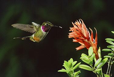 Magenta-throated Woodstar (Calliphlox bryantae) hummingbird male flying near Latin American Lady Orchid (Stenorrhynchos speciosum) cloud forest, Costa Rica  -  Michael & Patricia Fogden