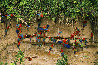 Scarlet Macaw (Ara macao) and Red and Green Macaw (Ara chloroptera) flock feeding on clay lick minerals, Manu National Park, Peru  -  Michael & Patricia Fogden