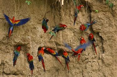 Scarlet Macaw (Ara macao) and Red and Green Macaw (Ara chloroptera) flocks feeding on clay lick minerals, Manu National Park, Peru  -  Michael & Patricia Fogden