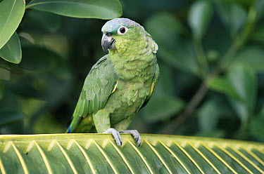 Mealy Parrot (Amazona farinosa) perching on palm frond, rainforest, Central America  -  Michael & Patricia Fogden