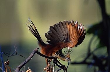 Hoatzin (Opisthocomus hoazin) raised wing display, rainforest, Manu National Park, Peru  -  Michael & Patricia Fogden