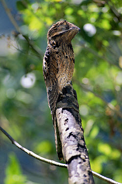 Common Potoo (Nyctibius griseus) cryptic plumage, in mangrove rainforest, Central America  -  Michael & Patricia Fogden