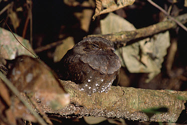 Ocellated Poorwill (Nyctiphrynus ocellatus) roosting Manu National Park, Peru  -  Michael & Patricia Fogden
