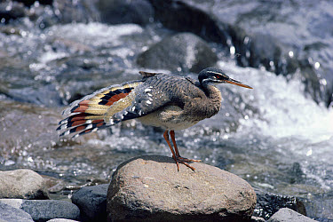 Sunbittern (Eurypyga helias) adult, preening primaries tail feathers, forested rivers, Costa Rica  -  Michael & Patricia Fogden