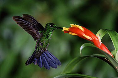 Green-crowned Brilliant (Heliodoxa jacula) hummingbird feeding and pollinating flowers of epiphytic Bromeliad (Guzmania nicaraguensis) cloud forest, Costa Rica  -  Michael & Patricia Fogden