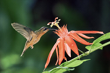 Bronzy Hermit (Glaucis aenea) hummingbird feeding and pollinating a Perfumed Passion Flower (Passiflora vitifolia) flower, rainforest, Costa Rica  -  Michael & Patricia Fogden