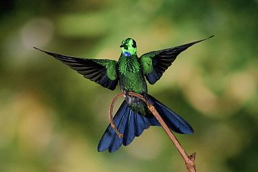 Green-crowned Brilliant (Heliodoxa jacula) hummingbird male, cloud forest, Costa Rica  -  Michael & Patricia Fogden